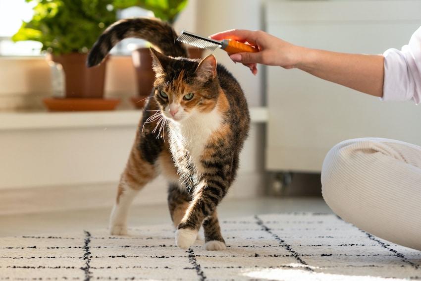 cómo quitarle las pulgas a un gato