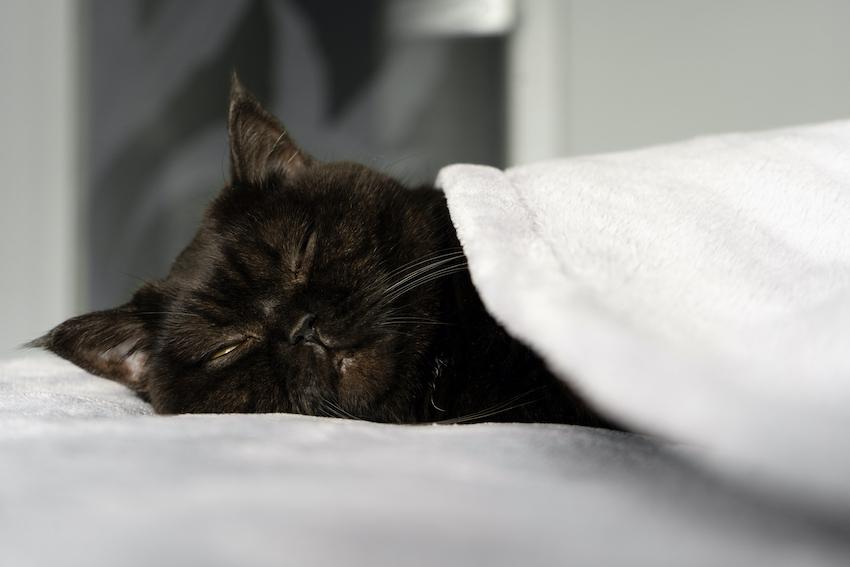 enfermedades de gatos mortales